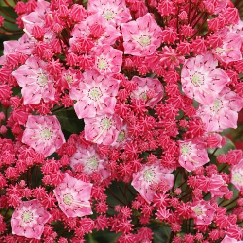 Kalmia_latifolia_Beacon_KUS_9753