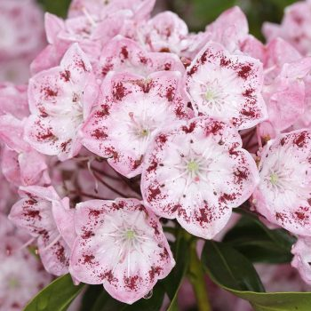Kalmia_latifolia_ideal_XK_2528
