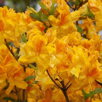 Rhododendron_hybr_Goldpracht_KUS_3562